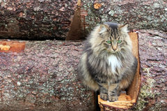 Ein recht Norweger Forest Cat Stockfoto