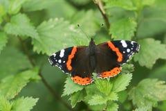 Ein recht roter Admiral Butterfly Vanessa atalanta hockte auf einem Blatt Stockfoto