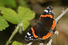 Ein recht roter Admiral Butterfly Vanessa atalanta hockte auf einer Anlage Stockfoto