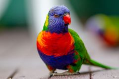 Ein Regenbogen lorikeet, das Samen mit einem grünen Hintergrund im lithgow New South Wales Australien am 12. Juni 2018 isst Lizenzfreies Stockfoto