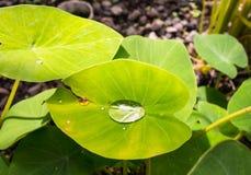 Ein Regentropfen, der auf einem Blatt in den Tropen schimmert Lizenzfreies Stockfoto
