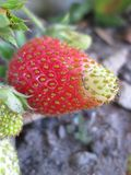 Ein reifender Erdbeerflecken lizenzfreie stockfotografie