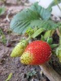 Ein reifender Erdbeerflecken Stockfotografie