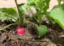 Ein reifer roter Rettich bereit zur Ernte stockfotos