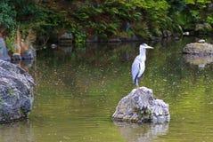 Ein Reiher, der auf einem Stein über dem Teich während des Frühlinges aufwirft Stockbild