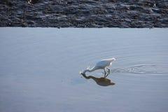 Ein Reiher, der nach Lebensmittel in einem Wasserbecken sucht Lizenzfreie Stockfotografie