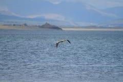 Ein Reiher, der niedrig über das Meer fliegt Stockbild