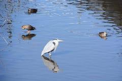 Ein Reiher und Enten stockfotografie