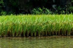 Ein Reisfeld außer einem Fluss Bei Tam Coc Ninh Binh Province, Hanoi, Vietnam stockfotografie