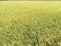 Ein Reisfeld im Herbst Stockbilder