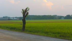 Ein Reisfeld mit grüner Farbe und Wolke als Hintergrund Lizenzfreies Stockfoto