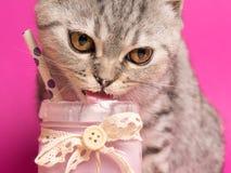 Ein reizend graues Scottishfaltenkätzchen isst ein Milchshaken auf einem Rosa lizenzfreie stockbilder