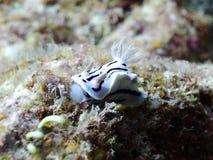 Ein reizender Streifen Ovula (Ovum) Stockfotos