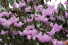 Ein Rhododendronstrauch stockfotos