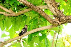 Ein riesiger Kolibri Stockbilder