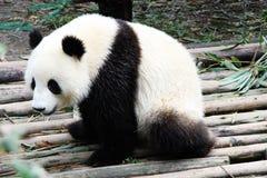 Ein riesiger Panda Stockfotos