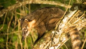 Ein Ring-angebundener Coati stockfotos