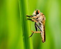Ein robberfly Griff auf einem grünen Gras lizenzfreie stockbilder