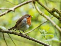 Ein Robin auf grünem Hintergrund lizenzfreies stockfoto