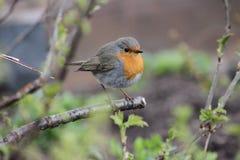 Ein Robin, der auf einer Niederlassung sitzt Stockfotografie