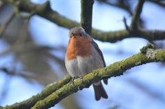 Ein Robin, der die Kamera betrachtet lizenzfreies stockfoto