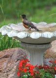 Ein Robin genießt ein Bad Stockfotos