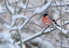 Ein roosting Dompfaff in einer Winterlandschaft Stockfotografie