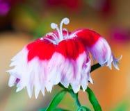 Ein Rosa Stockbilder