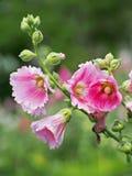 Ein Rosa blüht im Garten Stockbilder
