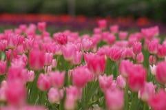 Ein rosa Blatt der Blüte Stockfoto