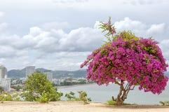 Rosa Bouganvilla-Baum Stockbilder