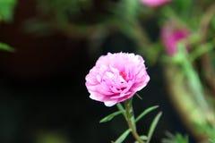 Ein rosa Japaner stieg in einen Park Lizenzfreie Stockbilder