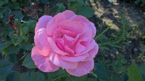 Ein rosa stieg lizenzfreie stockfotos