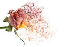 Ein Rosa stieg, aufl?send in Partikel und in wellenartig bewegende Fasern lizenzfreie abbildung
