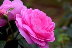 Ein rosa stieg in meinen Garten Stockfotografie