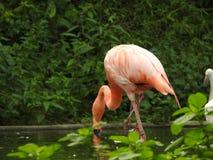 Ein rosafarbener Flamingo wirft im Francisco-Zoo auf Stockfotografie