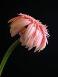 Ein rosafarbenes afrikanisches Gänseblümchen Lizenzfreies Stockfoto