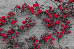 Ein Rosenaufstieg auf einer Backsteinmauer Stockfoto