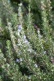 Ein Rosmarinstrauch mit Blumen Lizenzfreie Stockbilder