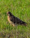 Ein Rot band den Falken an, der auf einem Gebiet steht, das nach ihm ` s Opfer sucht Lizenzfreies Stockfoto