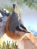 Ein Rot Breasted-Kleiber besucht eine Vogelzufuhr Stockfoto