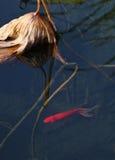 Ein Rot brocarded Karpfen im Lotospool Lizenzfreie Stockfotografie
