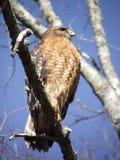 Ein rot-geschulterter Falke oder ein Raubvogel stockfotografie