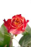 Ein rot, orange Rosen mit grünen Blättern Stockfoto