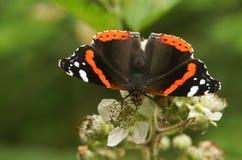 Ein roter Admiral Butterfly Vanessa atalanta, das auf einer Brombeerstrauchblume nectaring ist Stockbilder