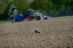 Ein roter Drachen, der nach Lebensmittel auf einem trockenen Feld sucht stockfotografie