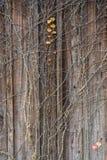 Ein roter Efeu auf der hölzernen Wand stockfoto