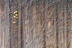 Ein roter Efeu auf der hölzernen Wand Stockfotografie