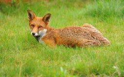 Ein roter Fuchs, der auf Wiese stillsteht Lizenzfreies Stockfoto
