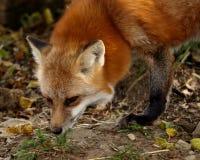 Ein roter Fuchs, der am Boden schnüffelt stockfoto
